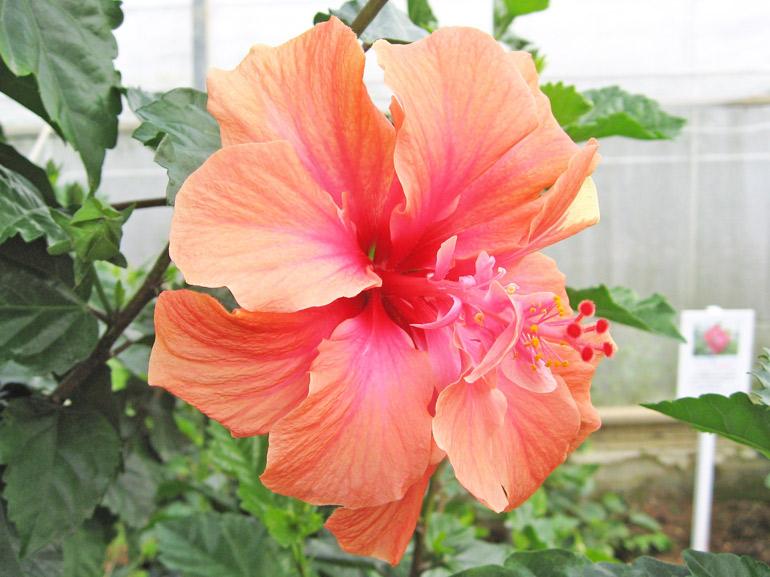サニー・・・なんとも優しげな、ほのぼの系八重咲きハイビスカスです。丈夫な品種で、油断していると数メートルの高さにまで成長してしまいます。多花生で、年中花を咲かせてくれます。