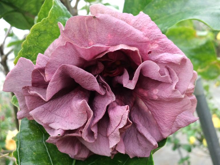 ジョアンフィンガートム・・・とても珍しい紫色の八重咲き品種です。時々花びらに白い斑点が出ます。また良い条件が重なると、写真のようなメタリックパープルのゴージャスな花になります。