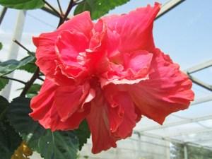 スー・スケリス・・・数種類のピンクが芸術のように織りあい、創作されたような花色です。最も美しいピンク八重といっても過言ではないでしょう。呼び名は「スー・シェリス」かもしれません。