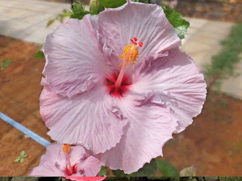 ソフティースポーケン・・・紫の品種ですが、青色素より、やや赤色素が強い感じです。他の紫品種には、紫陽花を連想させる和風テイストがありますが、これは西洋風の雰囲気を漂わせています。