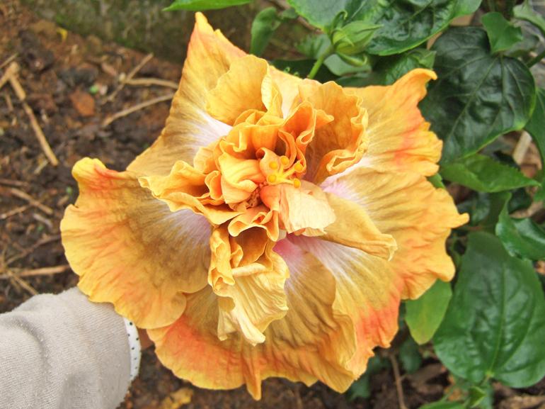 タイムフォーマジック・・・季節や栄養状態により、花弁が黄~金色に変わり、中心の紫色の割合も変わるため、その時々でかなり印象が異なります。マジックショーのようなハイビスカスですね。