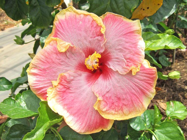 タミポン・・・マットなピンク色に、まわりを彩るひらひらのレモン色が特徴の大輪種です。この名前の由来は、両親の名前が「タミー・フェイ」と「ポニーB」だったからだそうです。