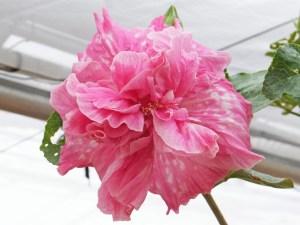 チェリータンゴ・・・ややマッドなピンクに、白い模様がのる八重咲き品種で、誰にも好かれる可愛らしいハイビスカスです。アルゼンチン・タンゴを踊っている楽しさが伝わってきますね。