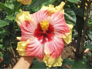 チャールズ・ニー・・・ハワイ・オアフ島の最も有名なハイビスカス農園ニー・ナーセリーのチャールズ・ニーさんが長年にわたる育種家人生の中で、自身の名をつけた唯一の品種だそうです。
