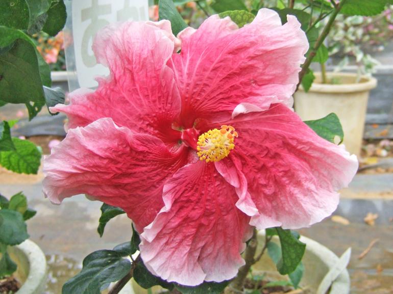 ファンタジーチャーム・・・赤に近い濃ピンクの花びら、グラデーションをかけながら白くなってゆくエッジ、とても幻想的な色合いを持った大輪品種です。花びらのごわごわ感もまた可愛いですね。