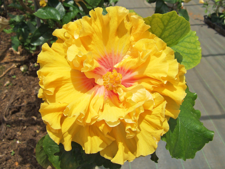 ヘブンシェント・・・品種名の「ヘブンシェント」とは「神の与えしもの」という意味のようです。めいっぱい明るいレモン色は思寵のように元気と優しい気持ちを与えてくれます。