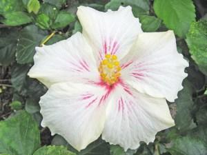 ホワイトレイズ・・・白い花弁に、赤い放射状の線が入った不思議な柄の花です。ハワイアン系に分類してありますが、オールド系との中間のような品種で、花のサイズも中ぐらいです。