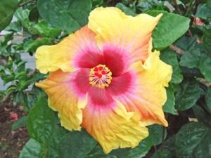 マーキュリー・・・水星の英名である「マーキュリー」と名付けられたハイビスカスです。赤~ピンク~黄色とすごいコントラストをしていますね。