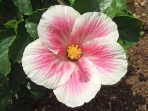 マウイビューティー・・・ハワイアン系に分類していますが、中ぐらいサイズで、オールド系に近い品種です。特徴であるピンク色のリングは、季節によって太さが変わります。時には「ナルト」に見えることも。