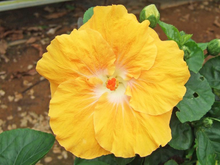 マユミ・・・純白の中心に、ウエーブのかかった黄色の花びらが特徴の中輪ハイビスカスです。こんなすばらしい花名にぜひ命名されてみたいものですね。