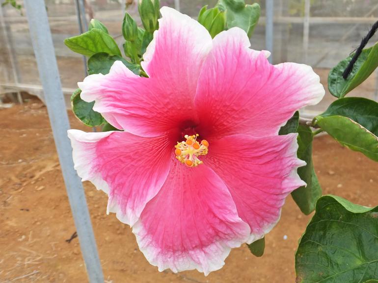 ミスティックピンク・・・この白&ピンクは、ハイビスカスのスタンダードパターンの一つです。モーニンググローリーと酷似していますが、花のサイズはモーニンググローリーよりやや大きめです。