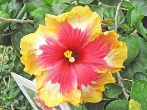 ルッキーザット・・・これも園芸品種の傑作のひとつです。シンプルな赤・白・黄色の組み合わせで、こんなに斬新なデザイン。最初に見た人はびっくりしたんでしょうね。英名は「Look it that!」