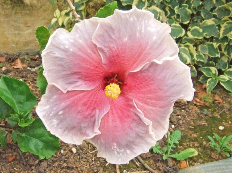 ルネサンスブルー・・・ルネサンスの名に恥じぬ、見事な紫系の品種です。星空のような白点をちりばめた花弁は、まるで宇宙を内包しているように見えます。