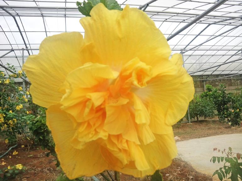 ロスワトソン・・・とても古くからある品種で、ダブルの花びらが八重のようになっています。春の日射しのようなやわらかなイエロー、見ているだけで幸せになれそうなハイビスカスですね。