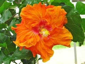 海美(うみ)・・・「海美」と書いて、「うみ」と読みます。濃厚オレンジの花びら、エッジのフリフリ感、まるで沖縄のカラフルな熱帯魚たちが、海の中で楽しそうに踊っているようですね。
