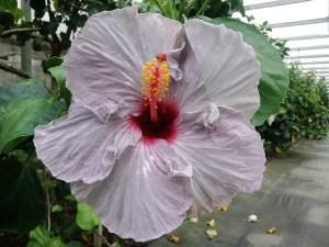 紫音・・・こちらは青ではなく、紫系の品種です。品種名はハイビスカス愛好家からの公募で決定しました。季節によってはグレーに近い色になることもあります。