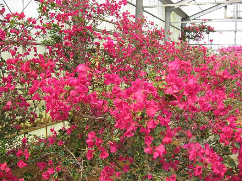 クレープリーフ(開花は秋から春)・・・葉はちぢれて波打ち、ちりめん状になる変わった品種。苞は小型で濃い赤紫色。花つきはあまりよくなく、成長は他の品種より遅い。