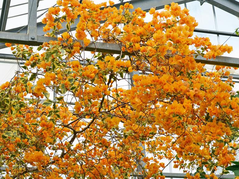 ゴールドウェーブ(四季咲き)・・・葉はクリーム色の外斑。苞の色は黄橙色で中型。葉と苞は縁がやや波打つ。花もちは良くない。