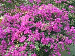 サンデリアナ(四季咲き)・・・グラブラ系の代表品種。明るい赤紫色。丈夫で耐冬性が強く、多花性。沖縄では最もよく見かける品種。