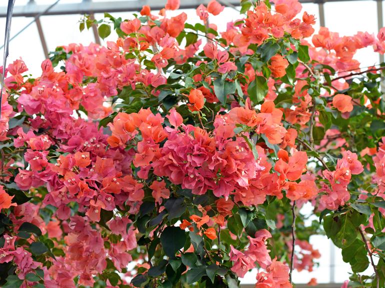 ジンダーオレンジ(四季咲き)・・・葉は黄色の中斑だが、斑の入り方は不鮮明。苞は中型でオレンジ色。鉢植え向きの品種。