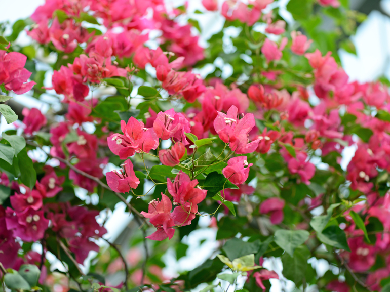 ジンダーレッド(四季咲き)・・・葉は黄色の中斑だが、斑の入り方は不鮮明。苞は中型で紅色。花もちは良くない。