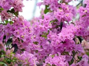 プリティーブルー(開花は秋から春)・・・グラブラ系の品種。苞は紫色。開花時期は、肥料と水を切らさずにあげれば、次から次へと咲き続ける。作りやすい品種で、特に鉢植え向き。