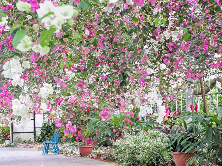 ブーゲンビレア2・・・宮古島では昔から民家の庭などに植えられ、親しまれていきました。また「宮古島市の花」にも制定されており、まさに宮古島を代表する花木です。