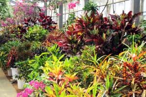 クロトン・・・別名「変葉木(ヘンヨウボク)」とも呼ばれているほど、変異しやすい植物で、葉の大きさや色、形にたくさんのバラエティーがあります。異なる品種を混ぜて植えると、さらに引き立って見えます。