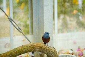 イソヒヨドリ・・・農園内でよく見かける鳥で、オスは鮮やかな青色、メスは茶褐色をしています。