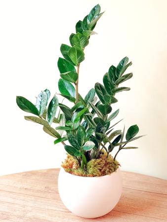 Najlepše sobne biljke - ZZ