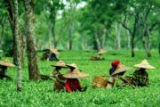देहरादून के चाय बागान, में अब महकेगी असम की चाय सिलीगुड़ी से मंगाए गए 15000 पौधे