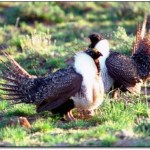 Recreation Group Urges Common Sense Approach To Grouse Management