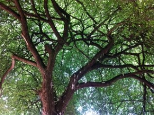 Looking up into the branches of an elm tree