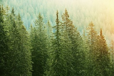 Hillside of tall evergreen trees