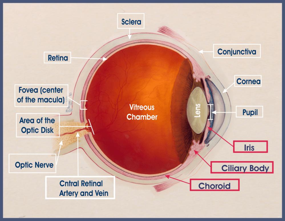 medium resolution of anatomy of the eye