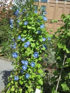And everyone's favorite morning glory, known as granny vine (Ipomoea tricolor) in section C, right near the...