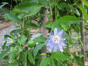 Maypop (Passiflora incarnata) flower and immature fruits. It has, so far, been a banner year for maypops.