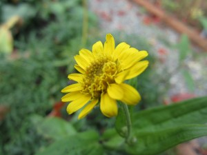 ditto the arnica (Arnica montana)...