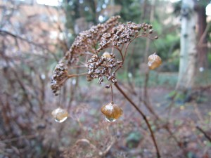 I've said it before but I'll say it again, wild hydrangea (Hydrangea arborescens) is a better looking plant in winter than in summer.