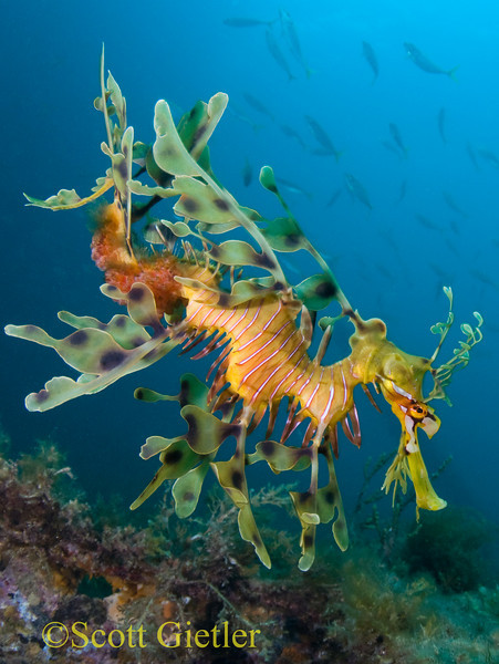 leafy sea dragon underwater