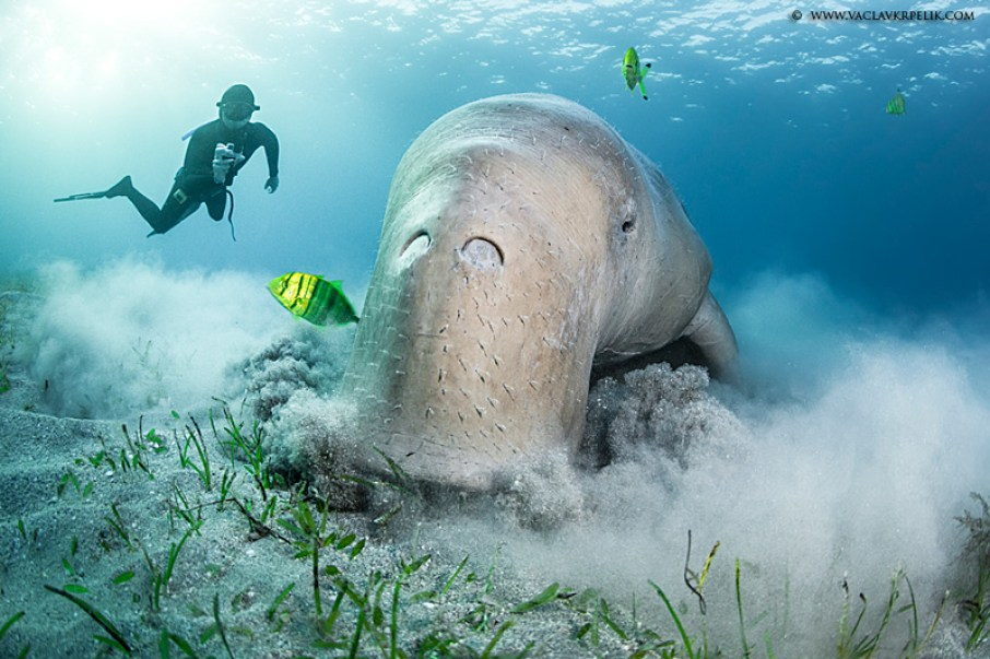 Dugong worlds most strange animals