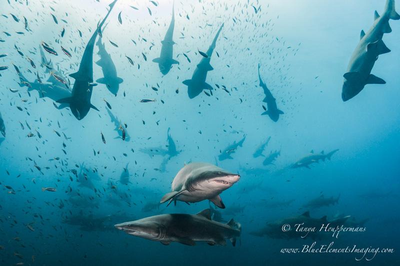 Octopus Wallpaper Cute The Sand Tiger Sharks Of North Carolina Underwater
