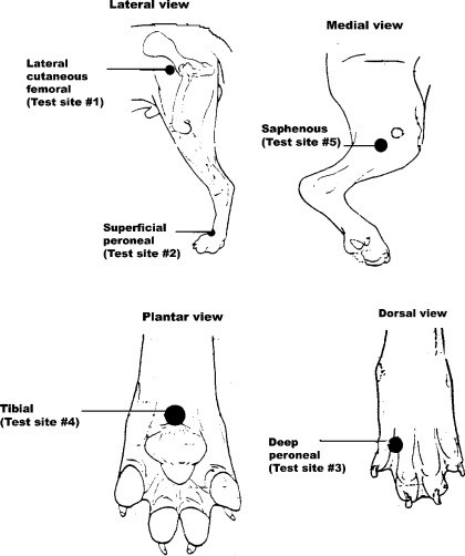 Development and verification of saphenous, tibial and
