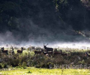 Red Deer Rut in the Killarney National park