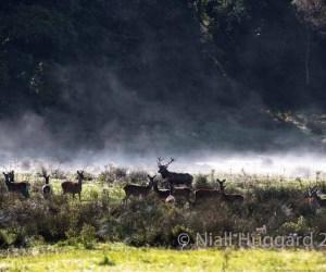 Red Deer Rut in the Killarney National park