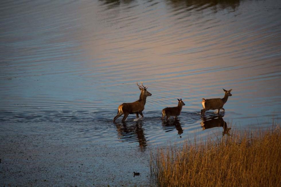 Red Deer in Killarney