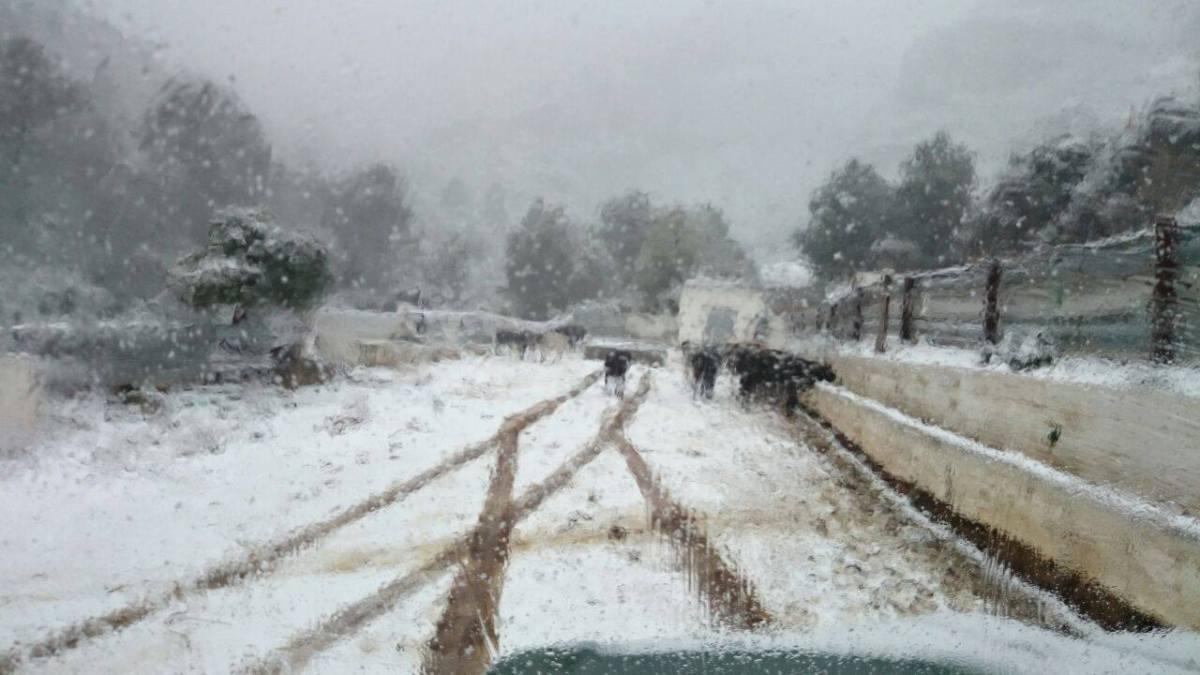 La nieve cubre en su totalidad la ganadería de Mur