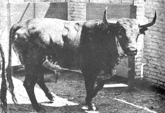 Potrico, un toro para el recuerdo