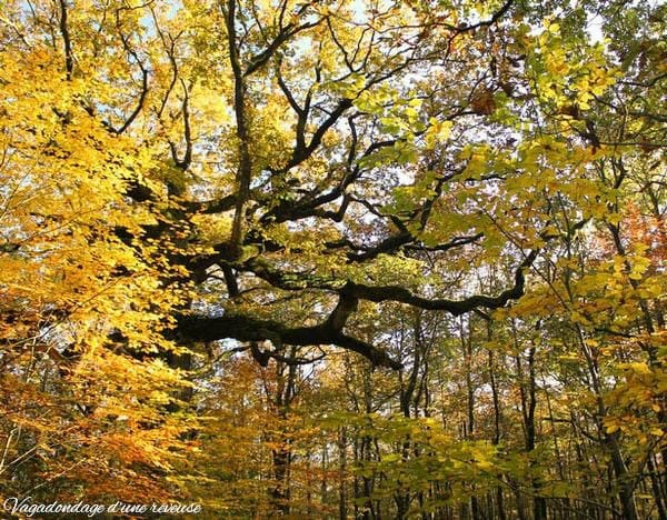 arbre remarquable Broceliande