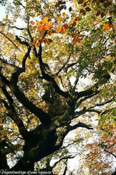 Le chêne à Broceliande